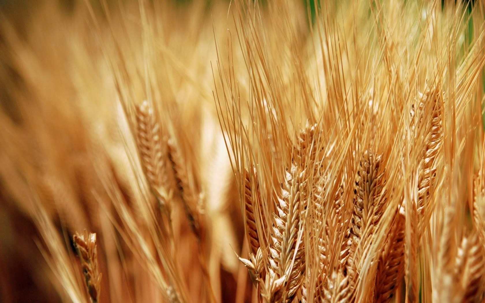 Nature Wheat Plants Close-Up HD Wallpaper