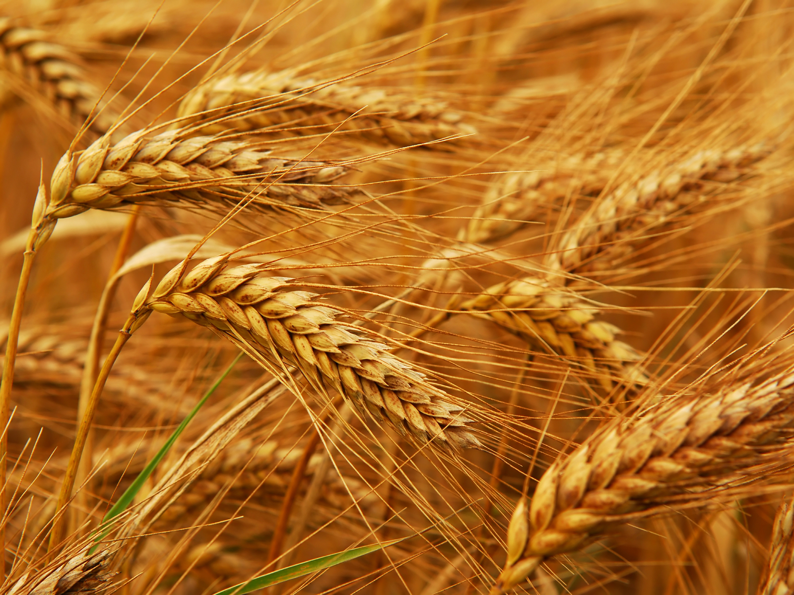 ... Wheat Wallpaper; Wheat Wallpaper