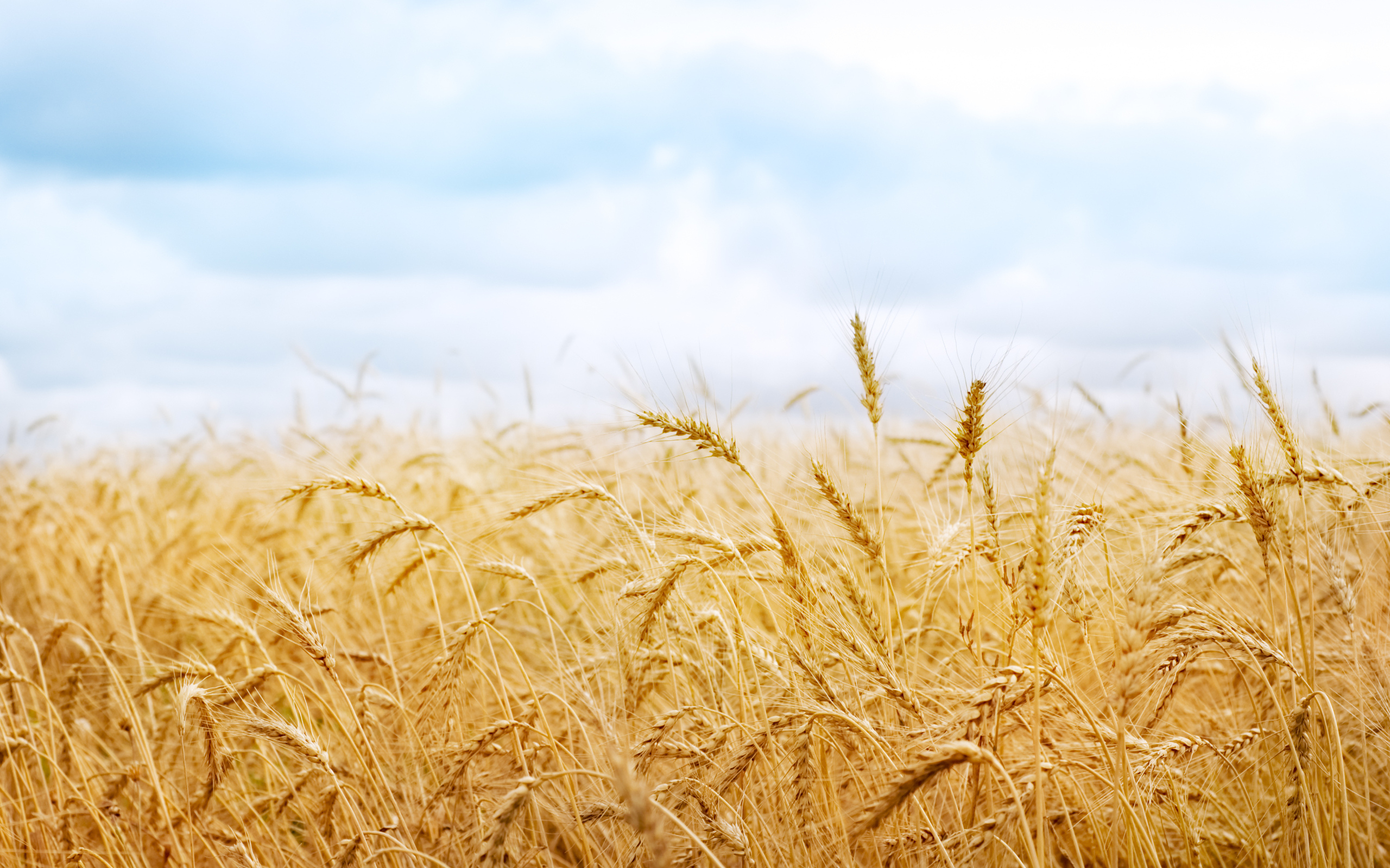 Wheat Wallpaper