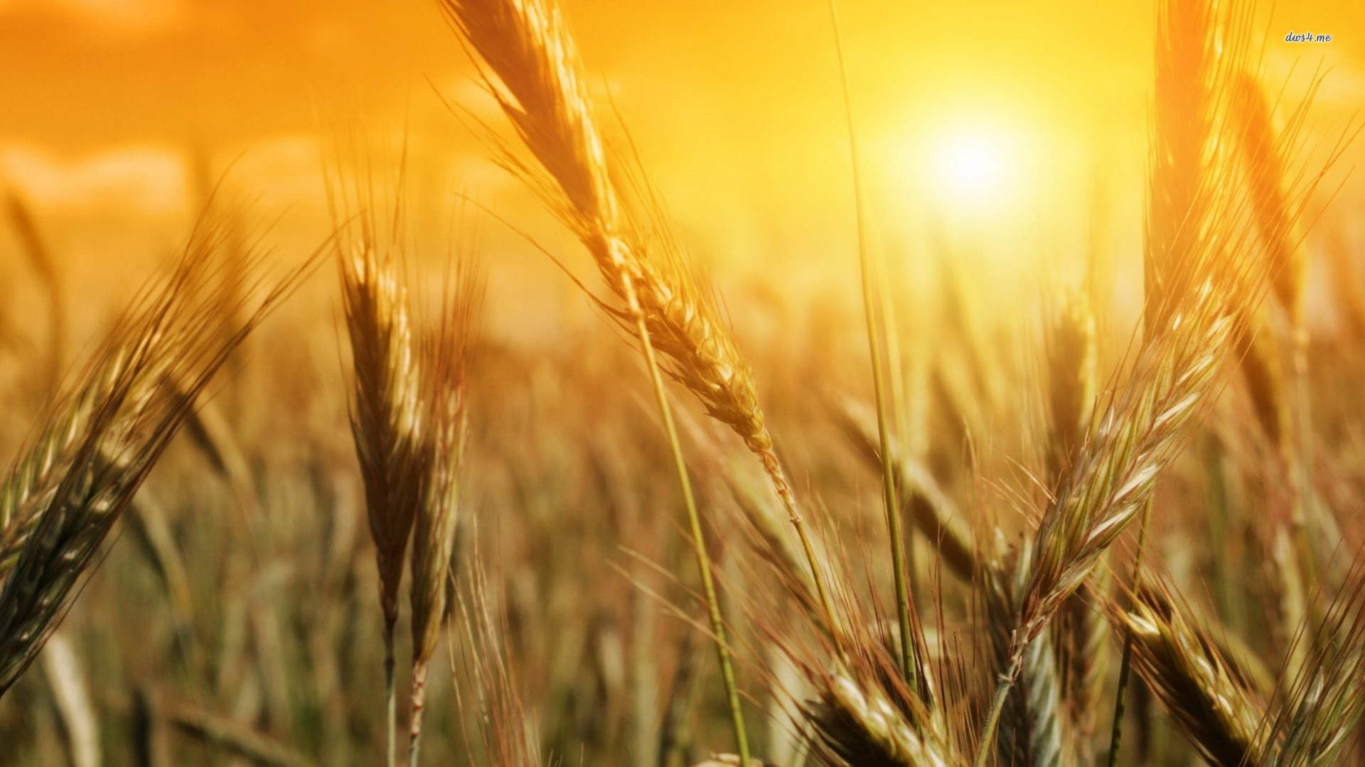 ... Wheat in the sun wallpaper 1920x1080 ...