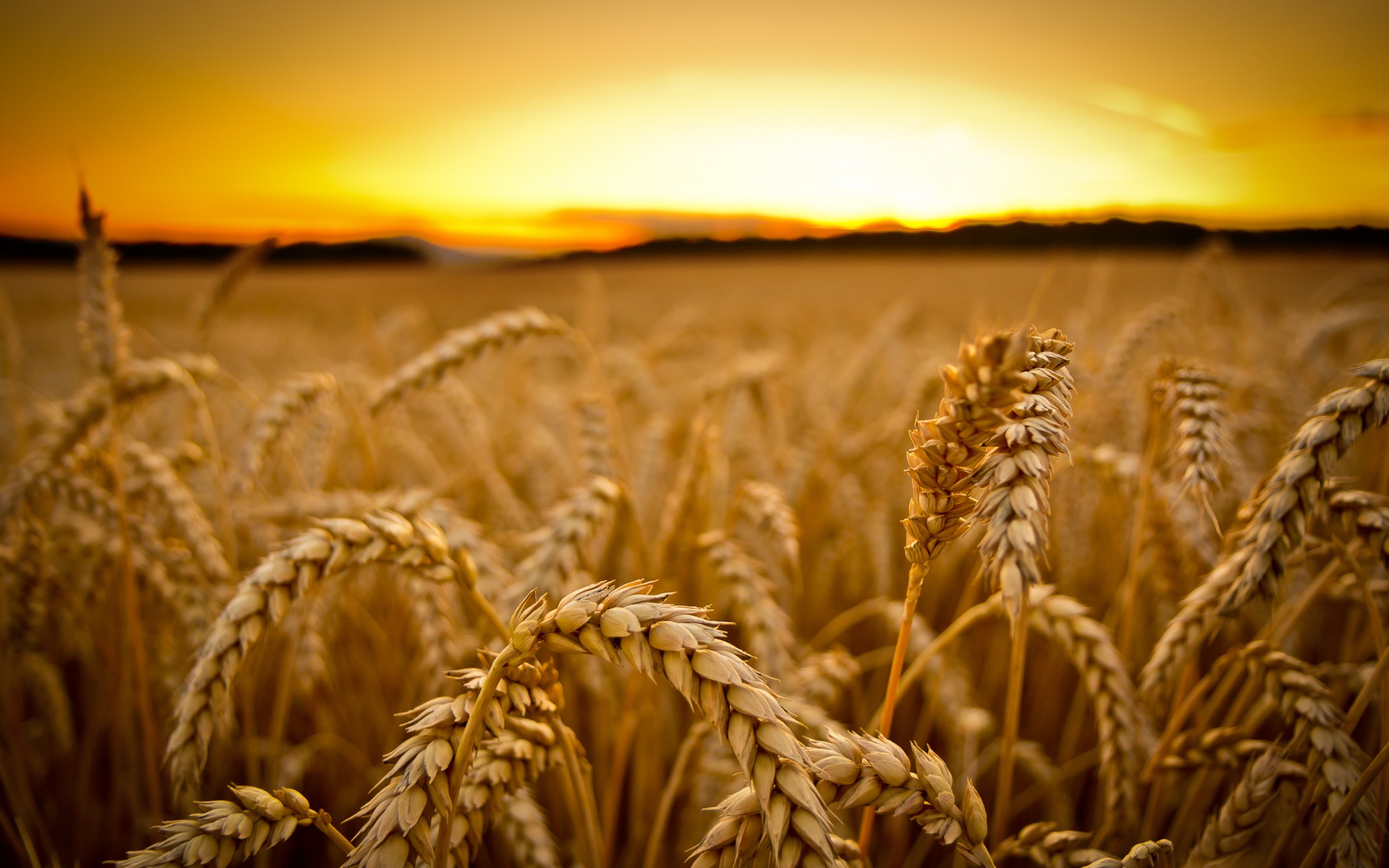 HD Wallpaper | Background ID:382681. 2560x1600 Earth Wheat