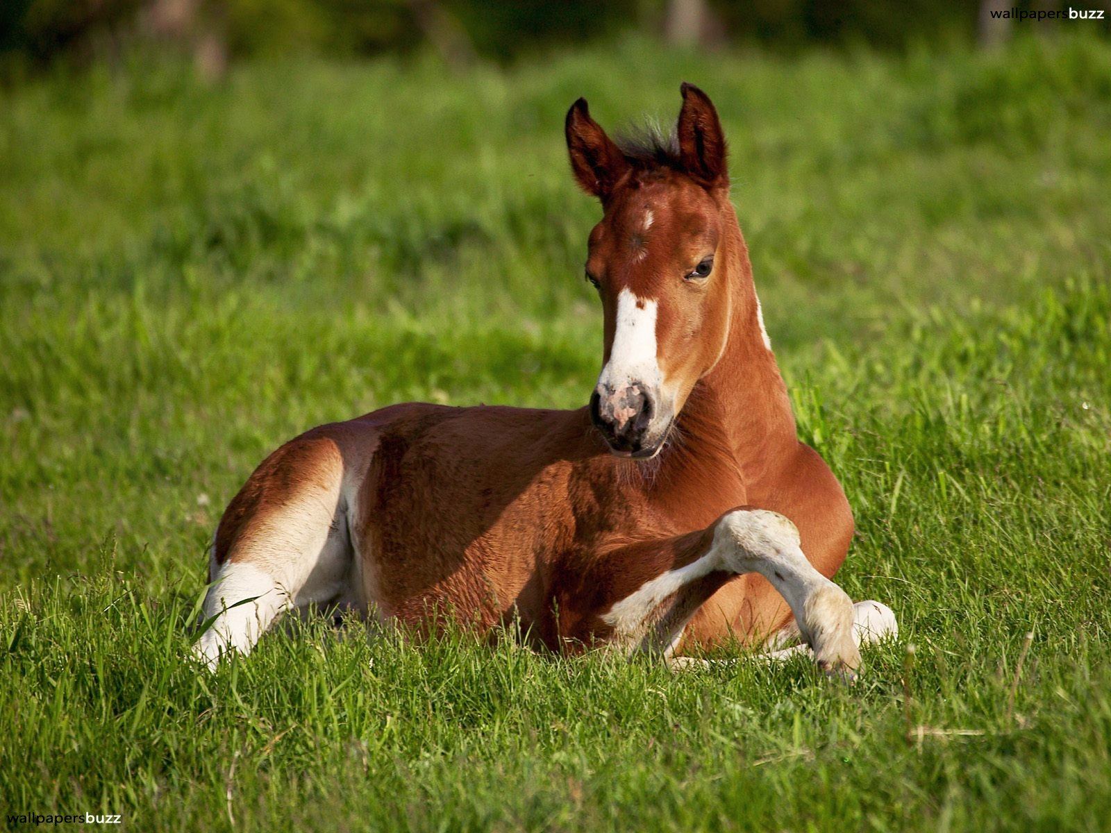 "A brown foal is lying on green grass. His coloring is brown but his legs, chest and nose are white. The size of this hi resolution ""A brown horse on the ..."