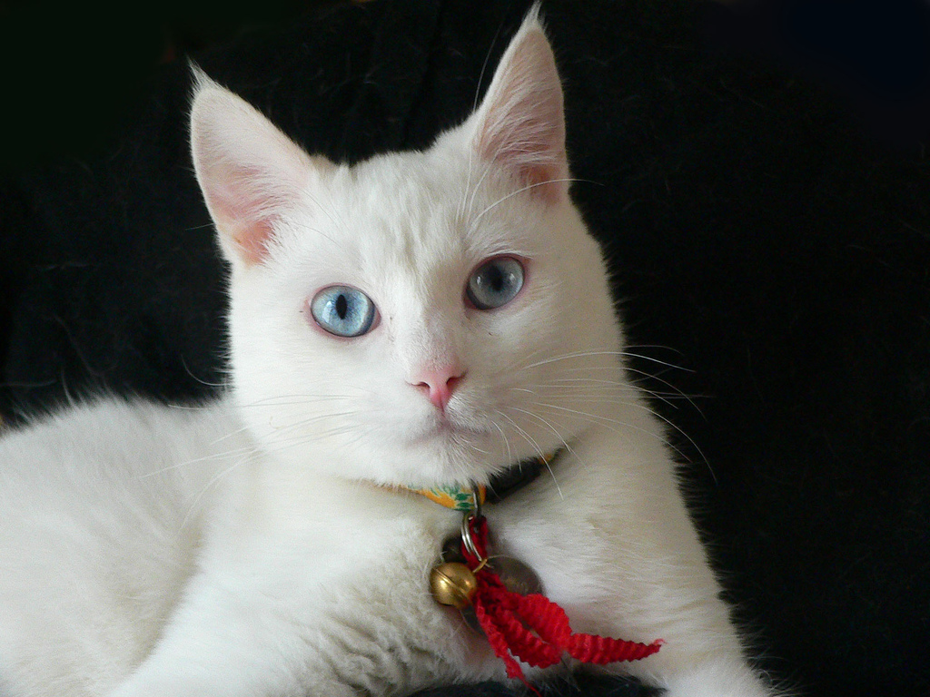 white cat wallpaper | 1024x768 | #14560