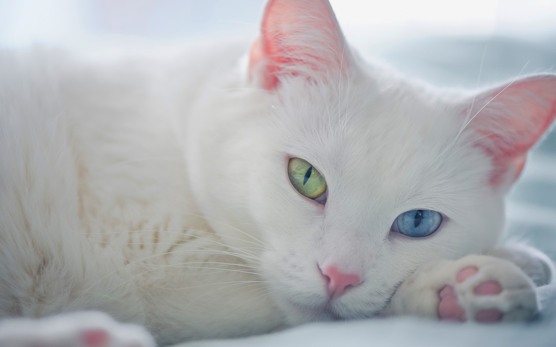White cat green blue eyes