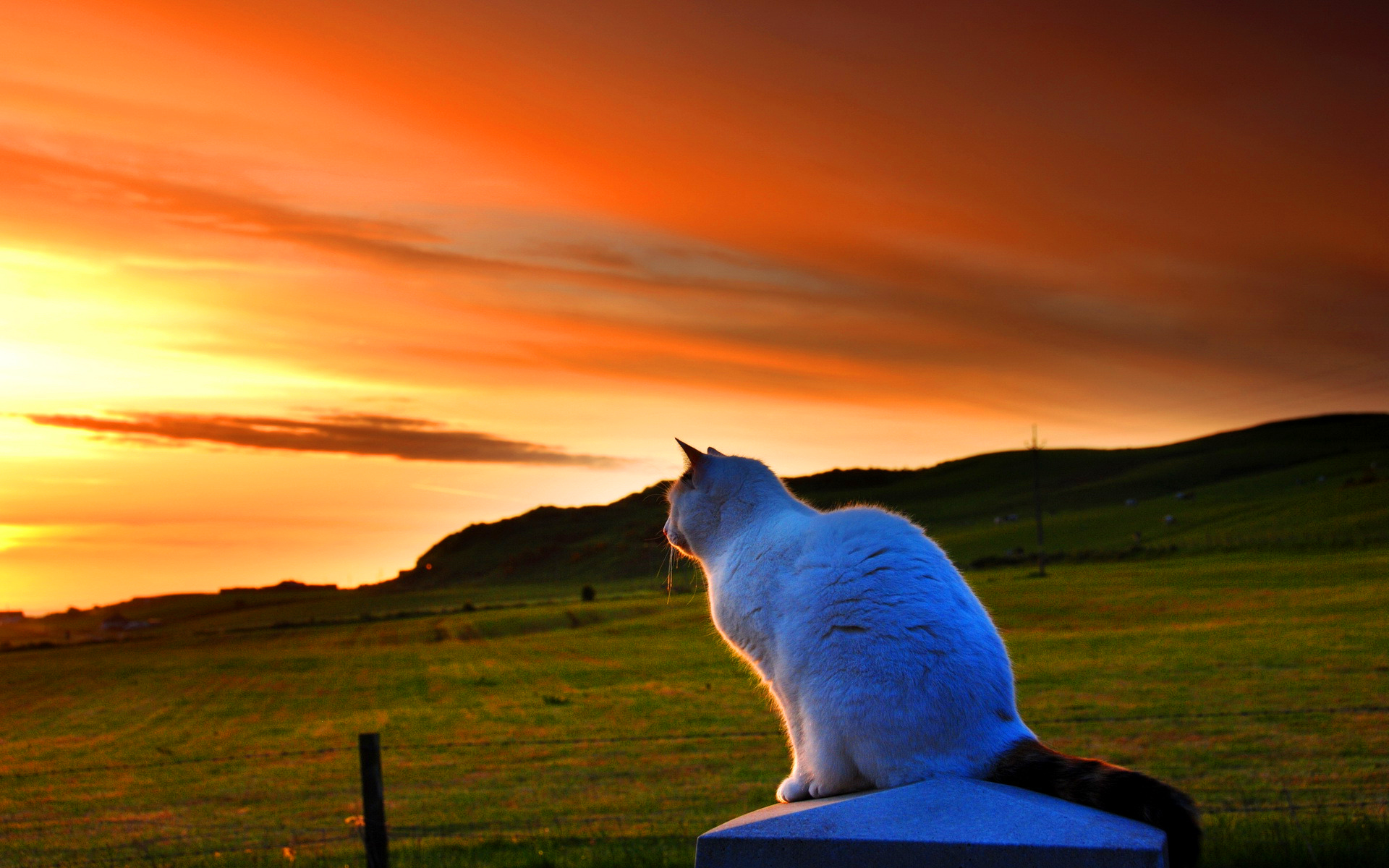White cat sunset