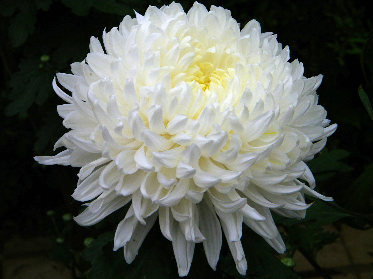White chrysanths