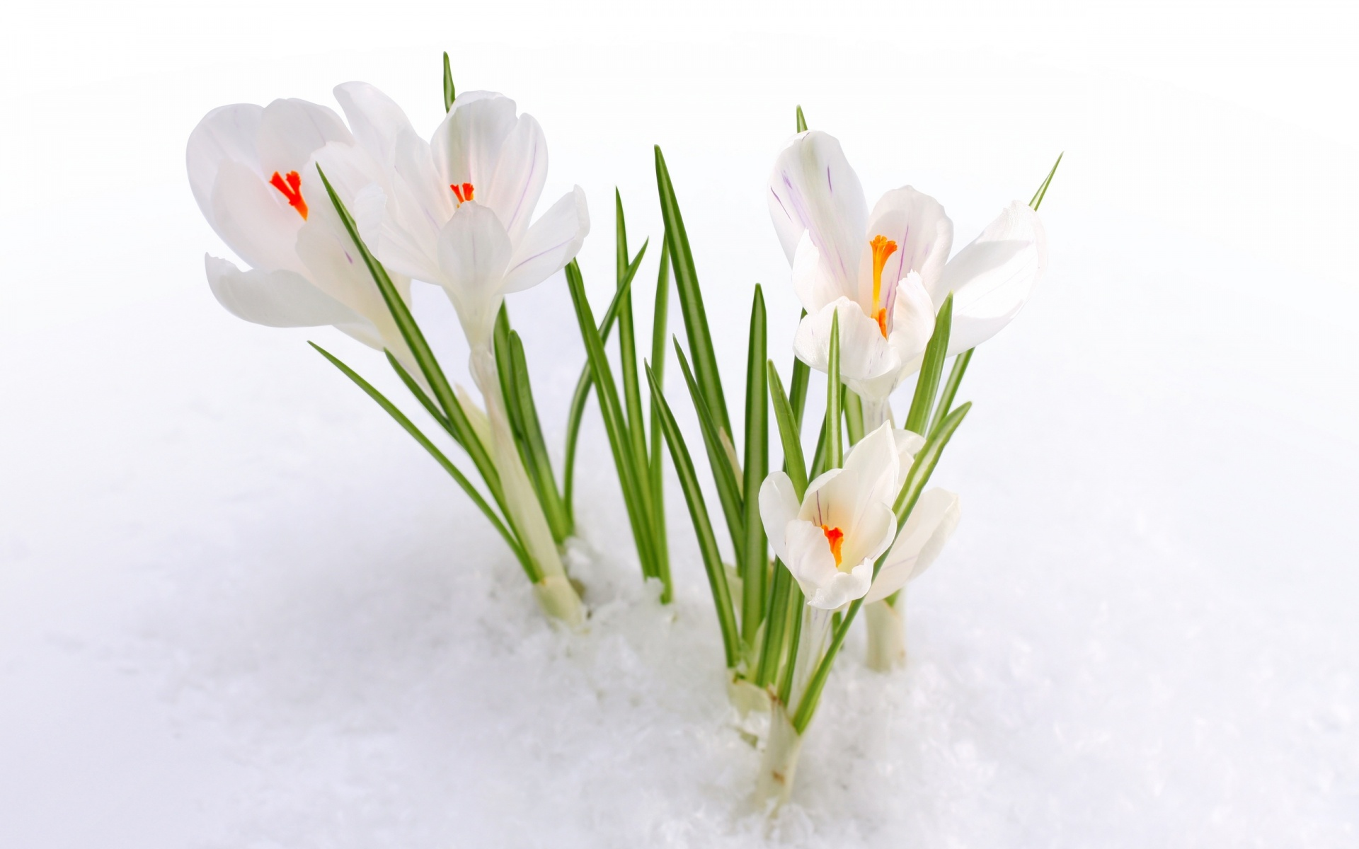 White Crocus Snow