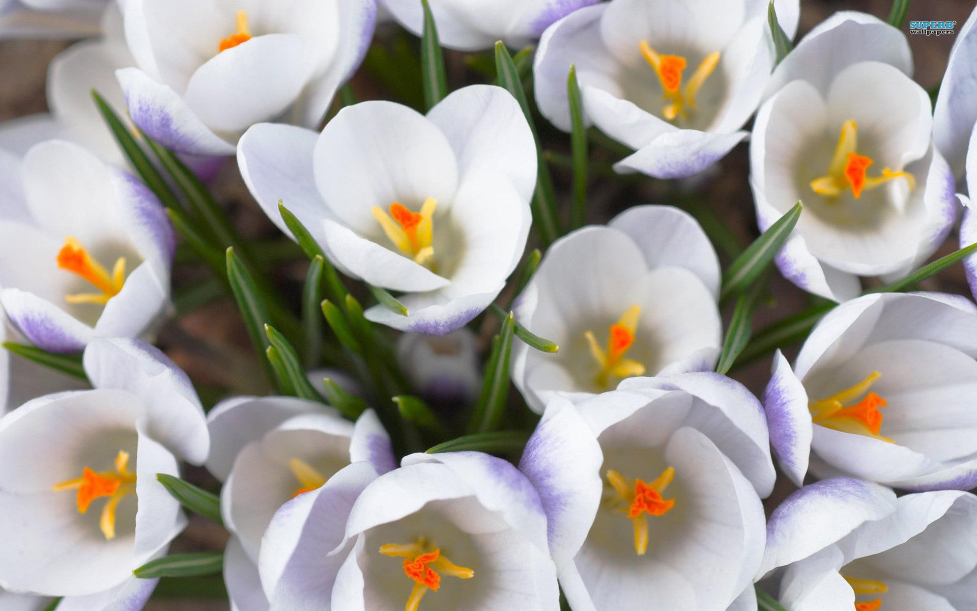 White Crocuses 28932 1680x1050 px