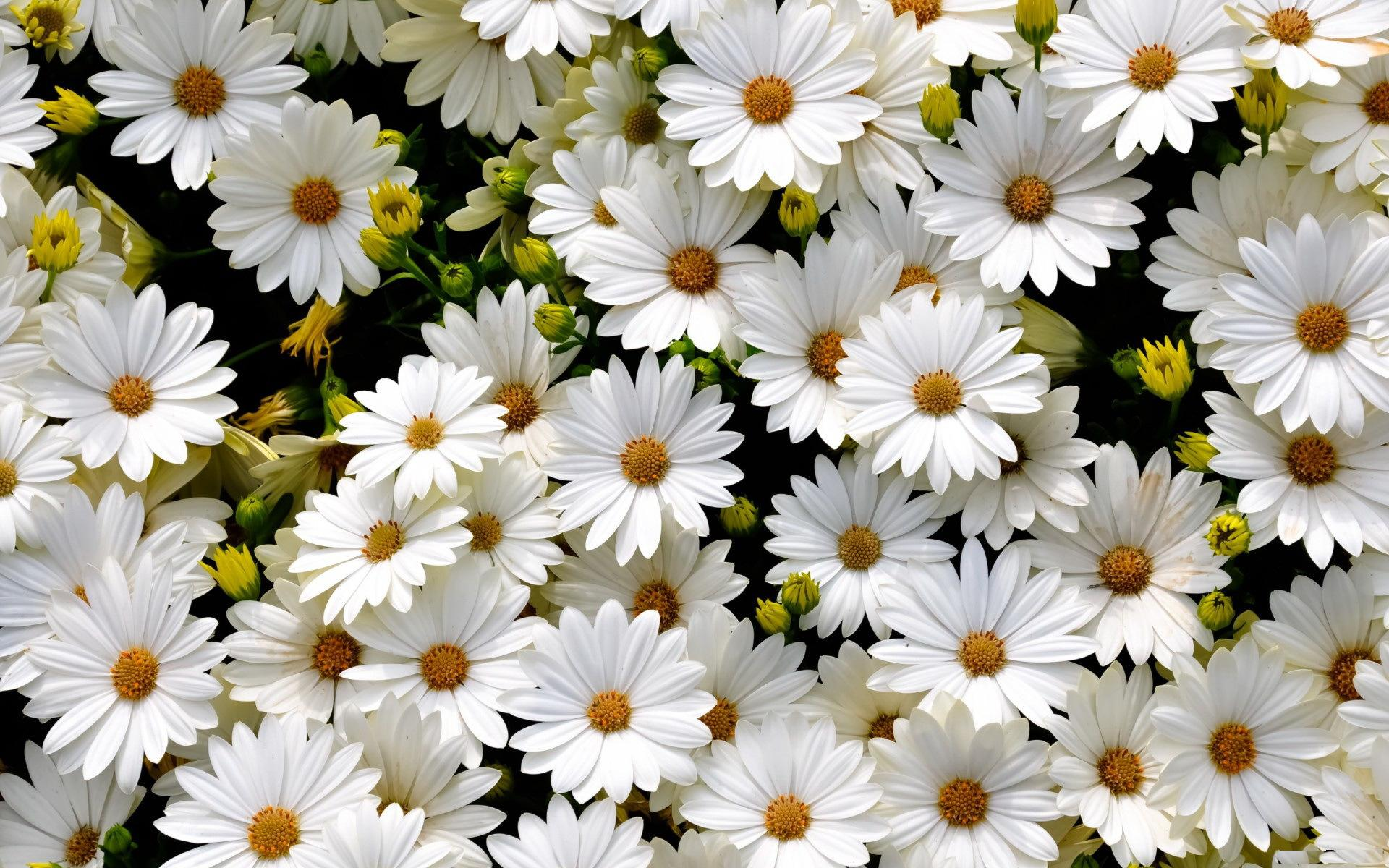 White daisies HQ Wallpaper