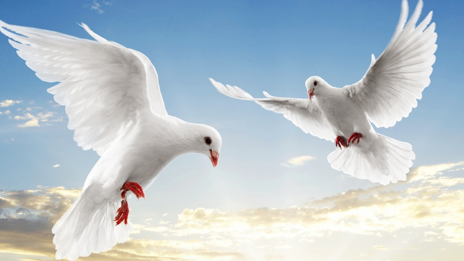 Description: The Wallpaper above is White doves retina Wallpaper in Resolution 1600x900. Choose your Resolution and Download White doves retina Wallpaper