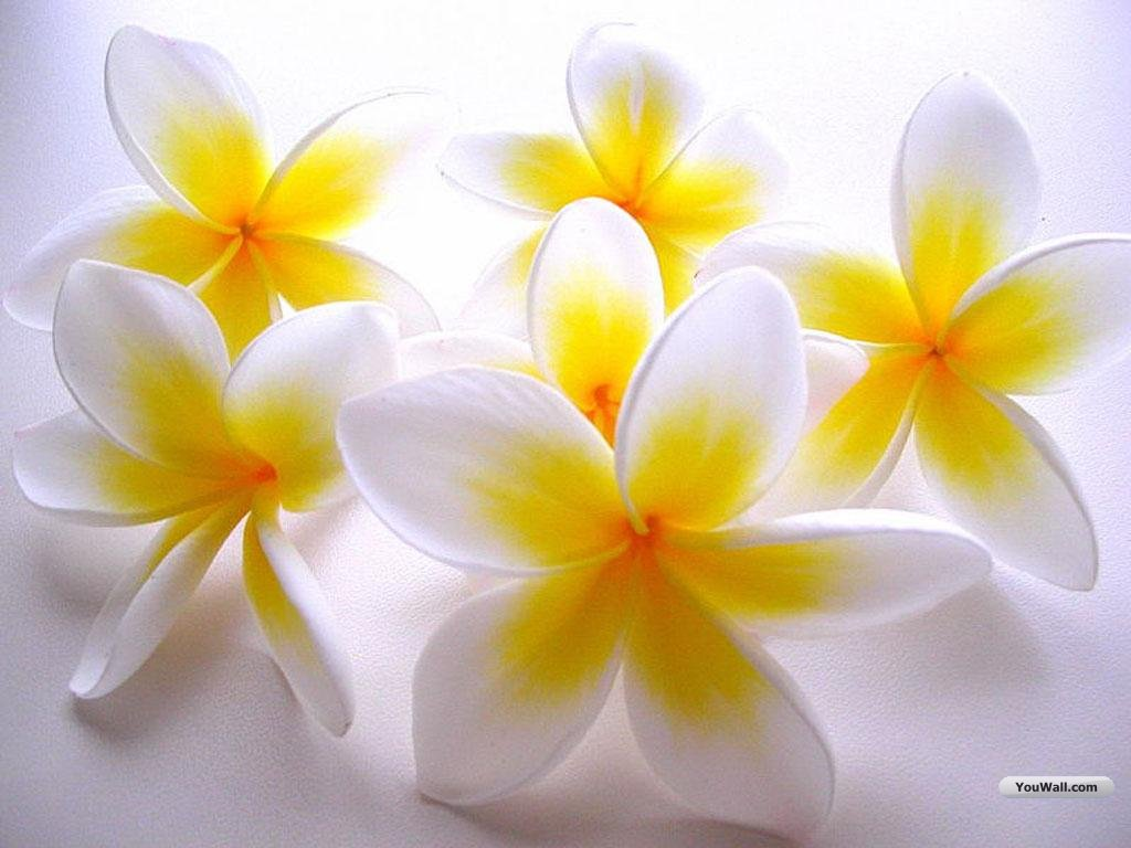 Wallpapers for Gt Wallpaper Desktop Background White Flowers 1024x768px