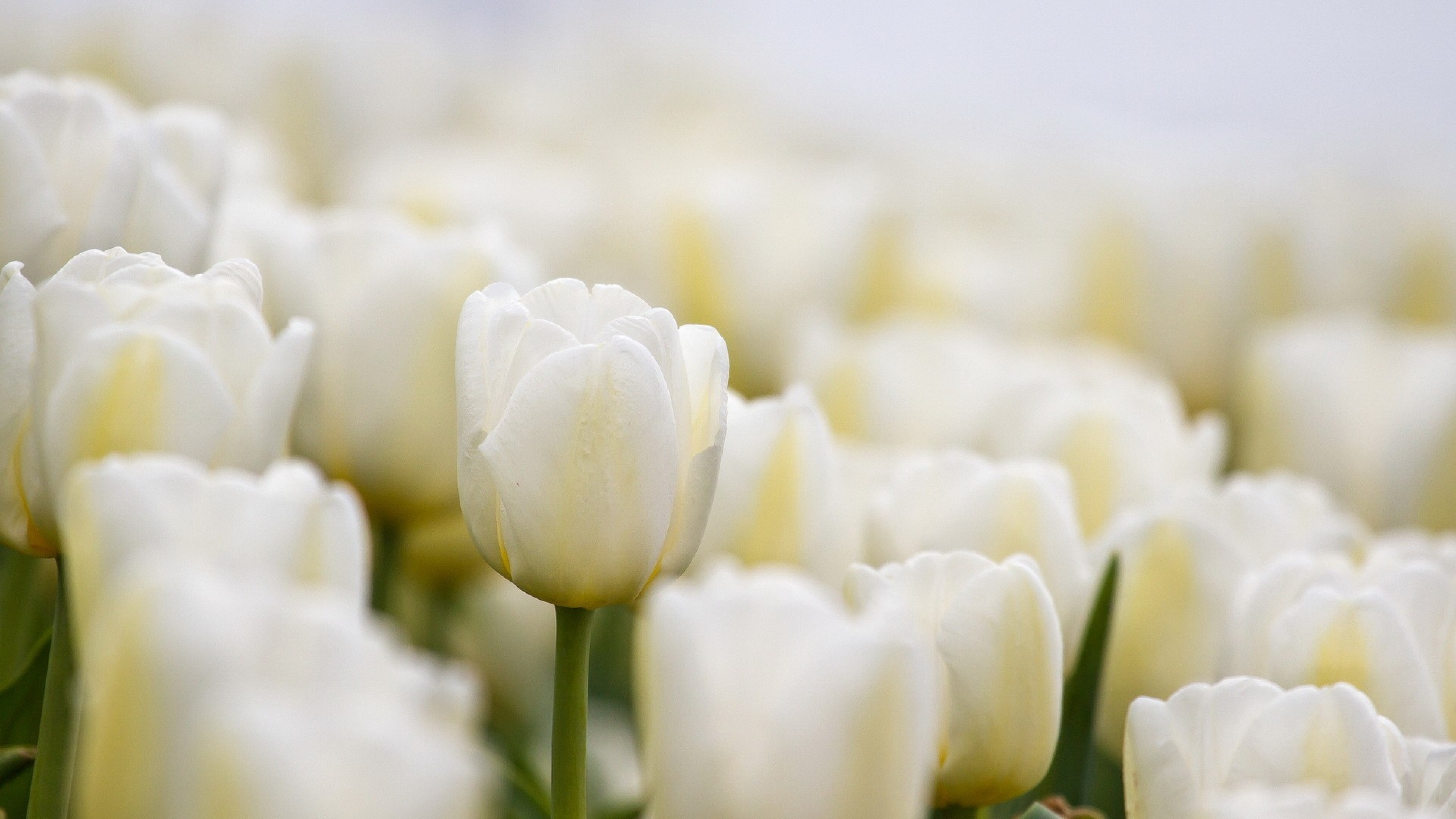 3840x2160 Wallpaper tulips, white, flowers, buds
