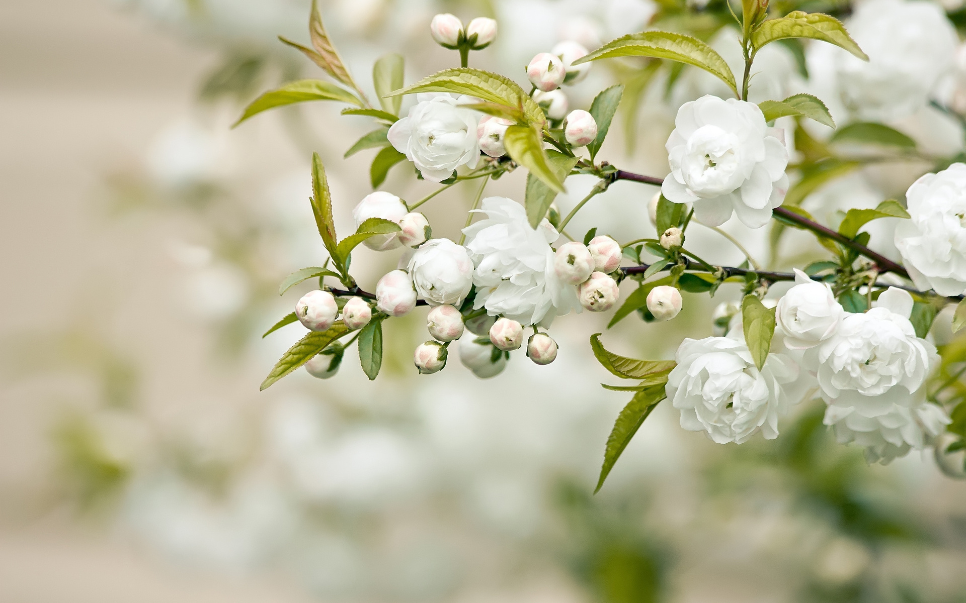 White Flowers 27 HD Wallpapers