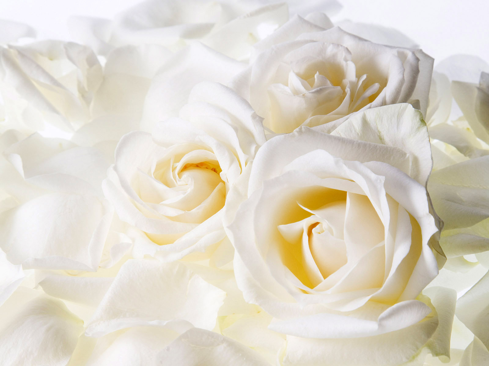 white rose flowers hd wallpapaers desktop images