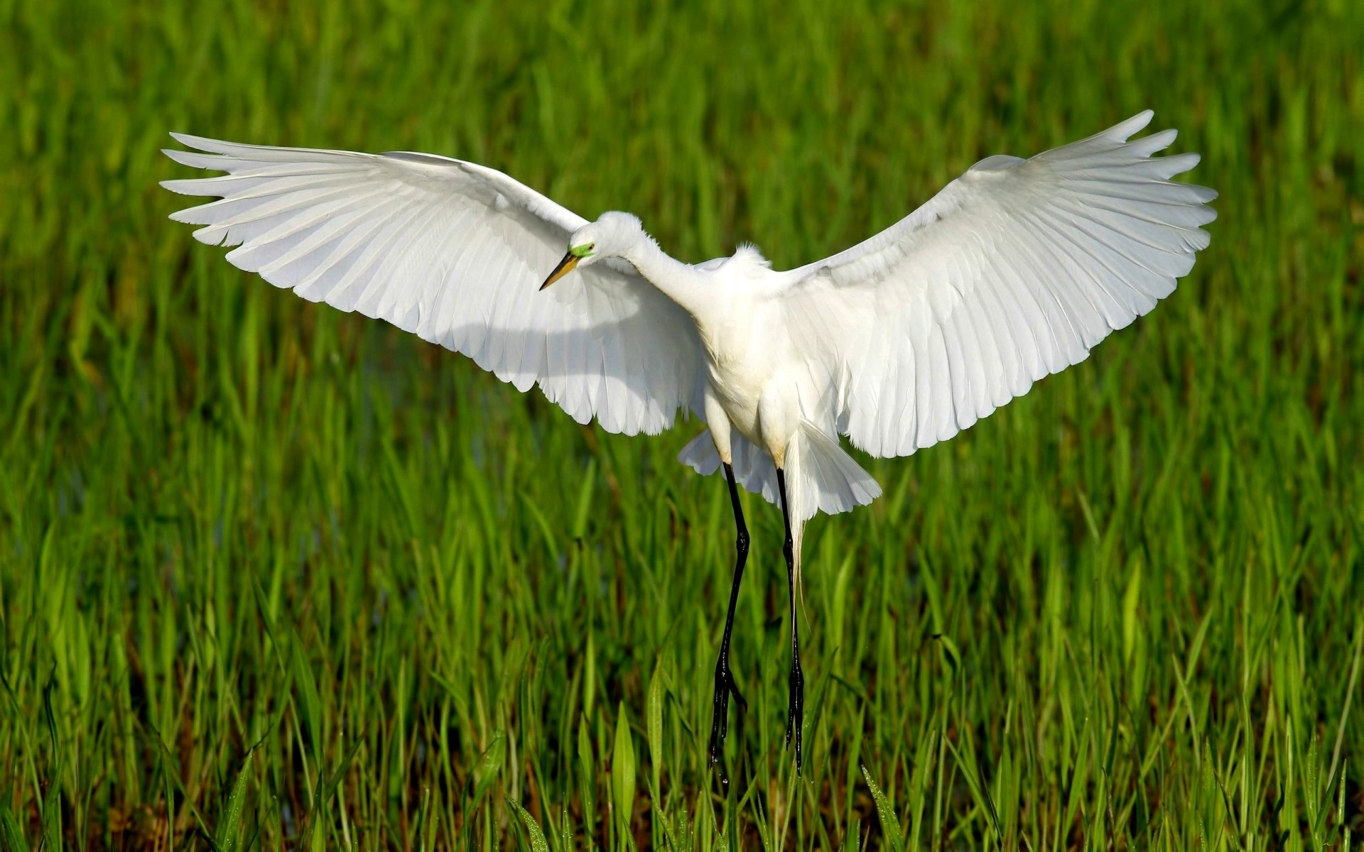 White Heron Wallpaper