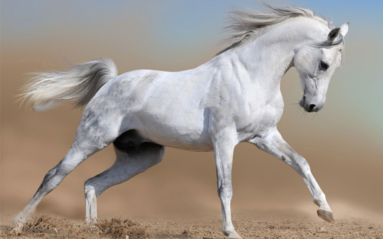 beautiful white arabian horses  Stock Photo  mariart