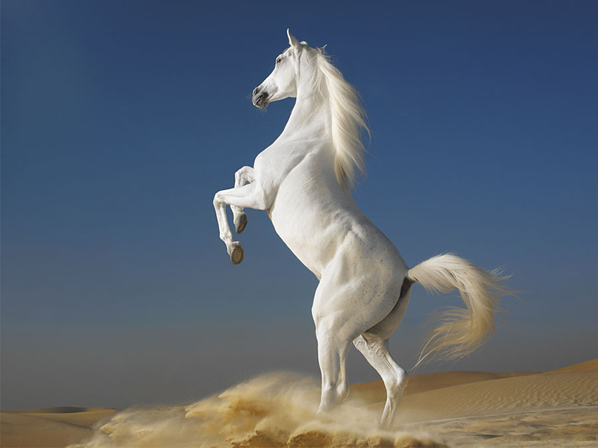 White Horses HD Wallpaper