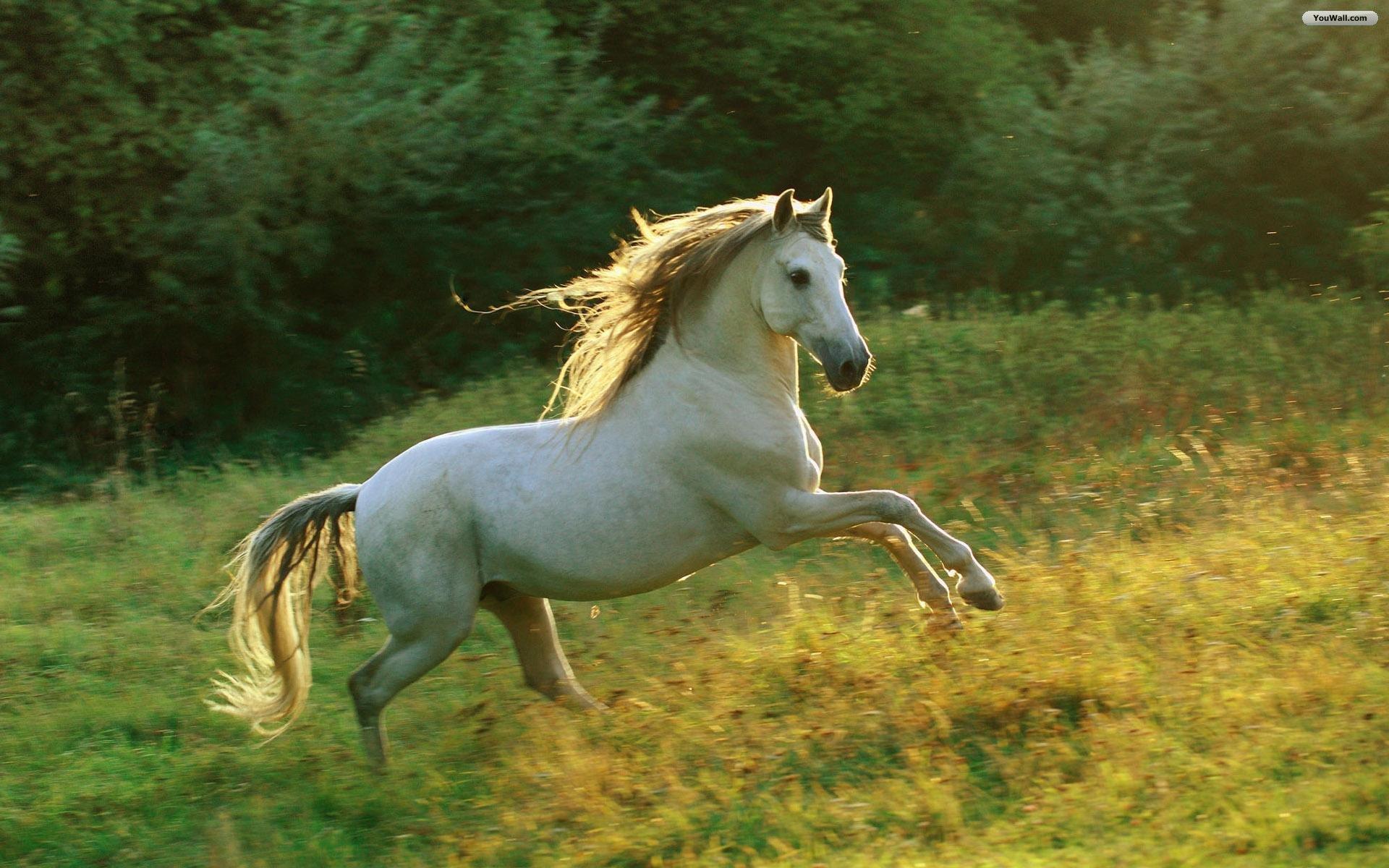 Beautiful White Horse Wallpaper Hd 02