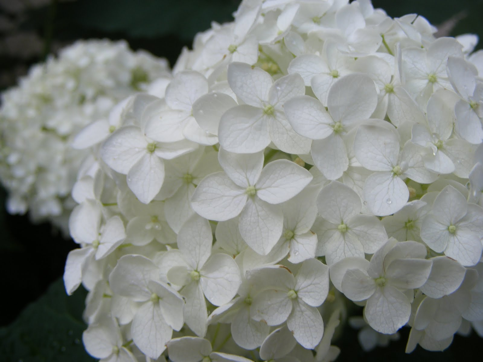 White Hydrangeas Zoom in