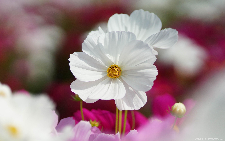 White kosmeya