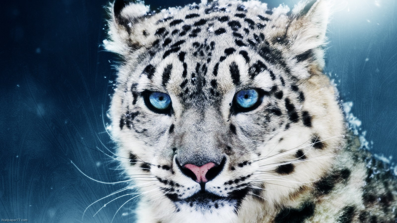 White Leopard Backgrounds - HD Wallpapers