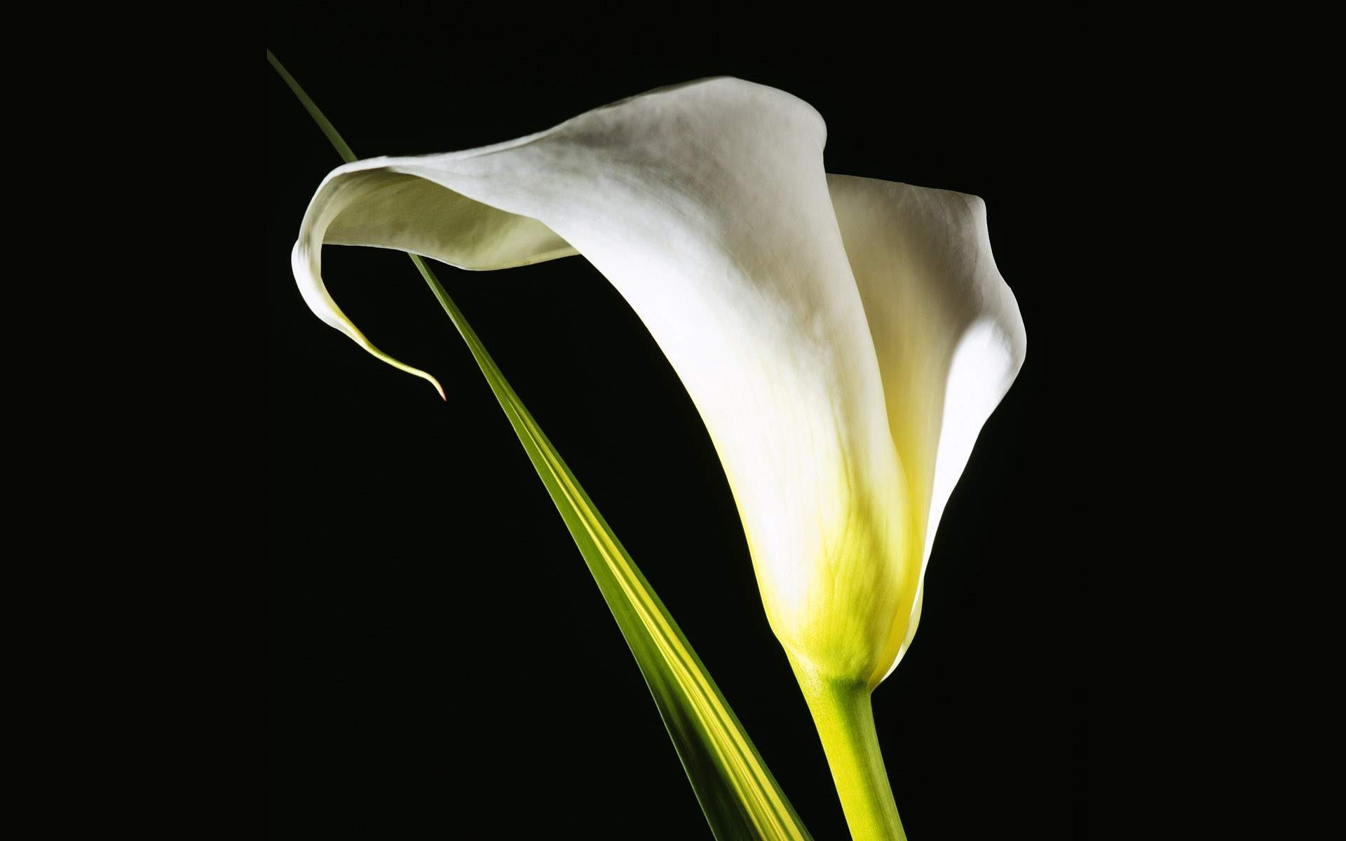 White animated flowers wallpapers pozadia strana wallpaper background tapety flower lily pictures calla beautiful