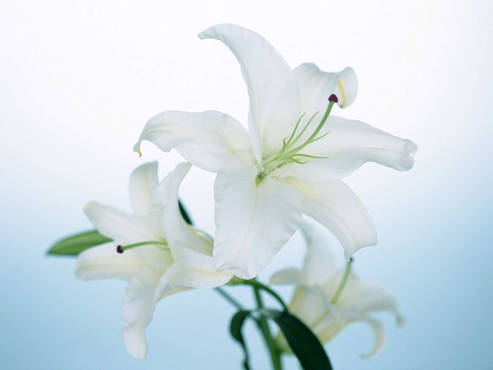 Fresh White Lily Flower Hd Wallpaper Wallpapers 1600x1200px