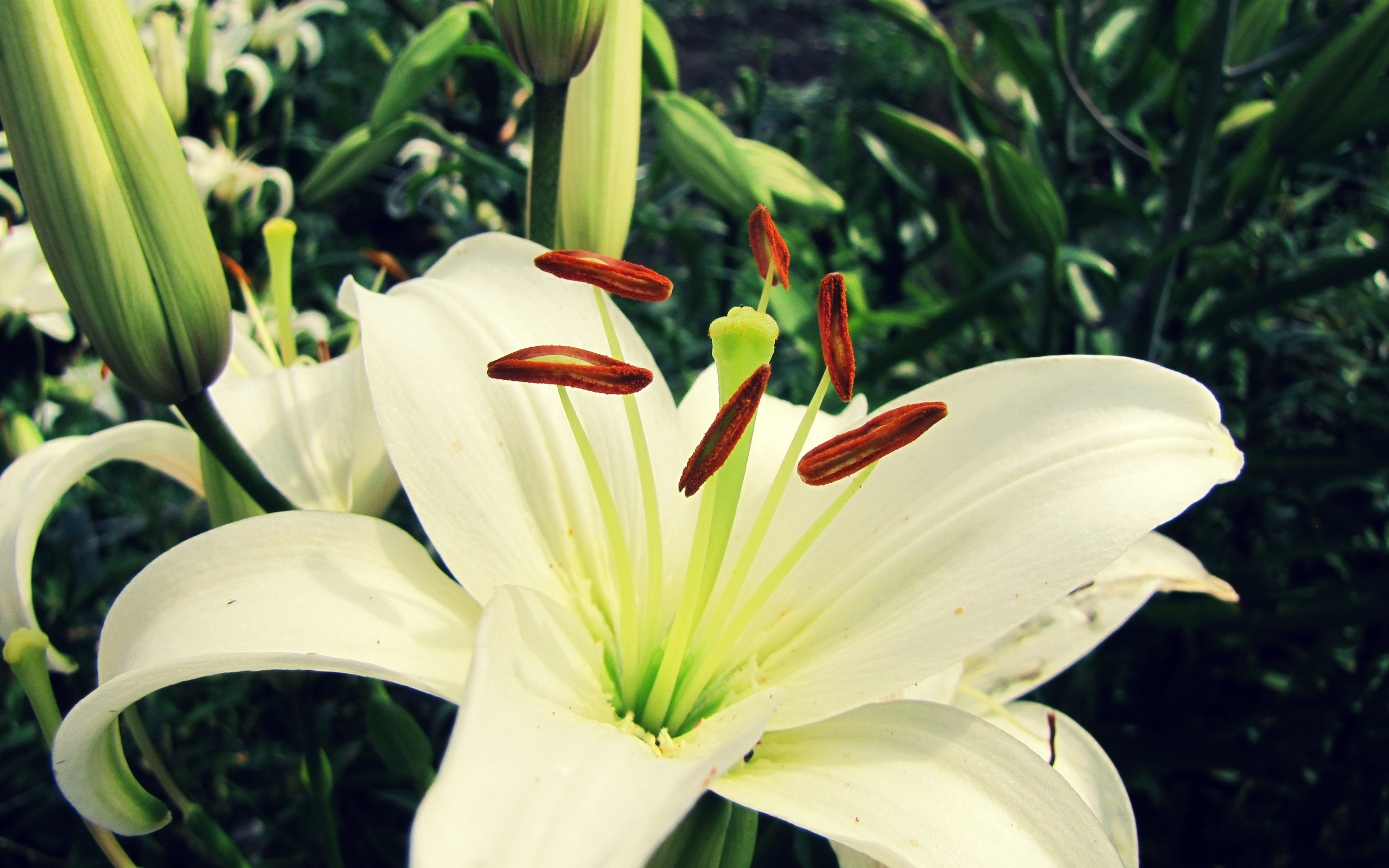 White Lily Flower Wallpaper Wallpaperz