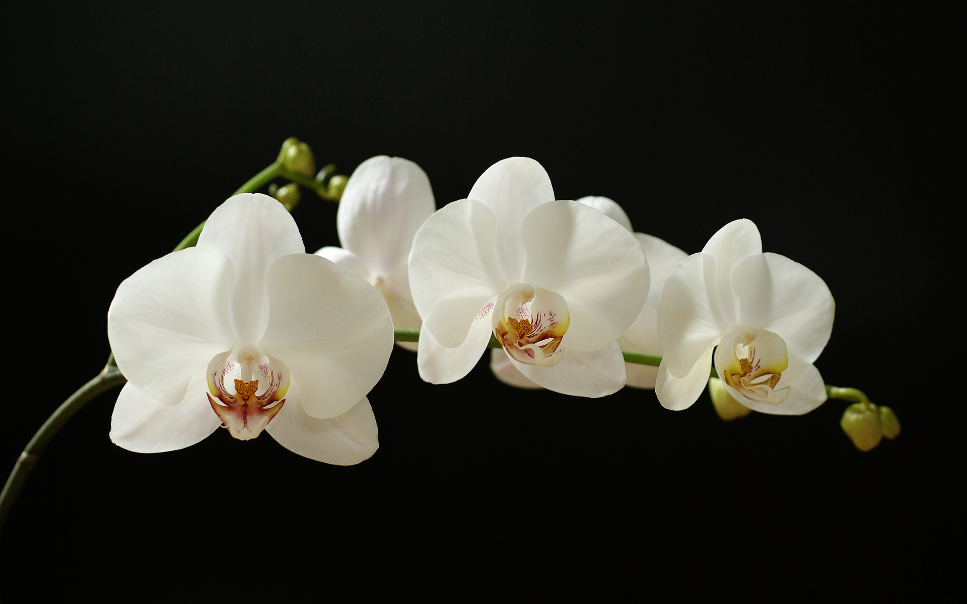 White Orchid 02 ...