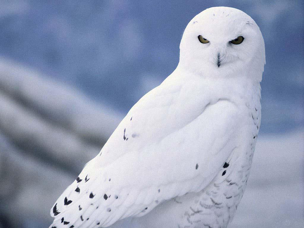 White Owl Wallpaper