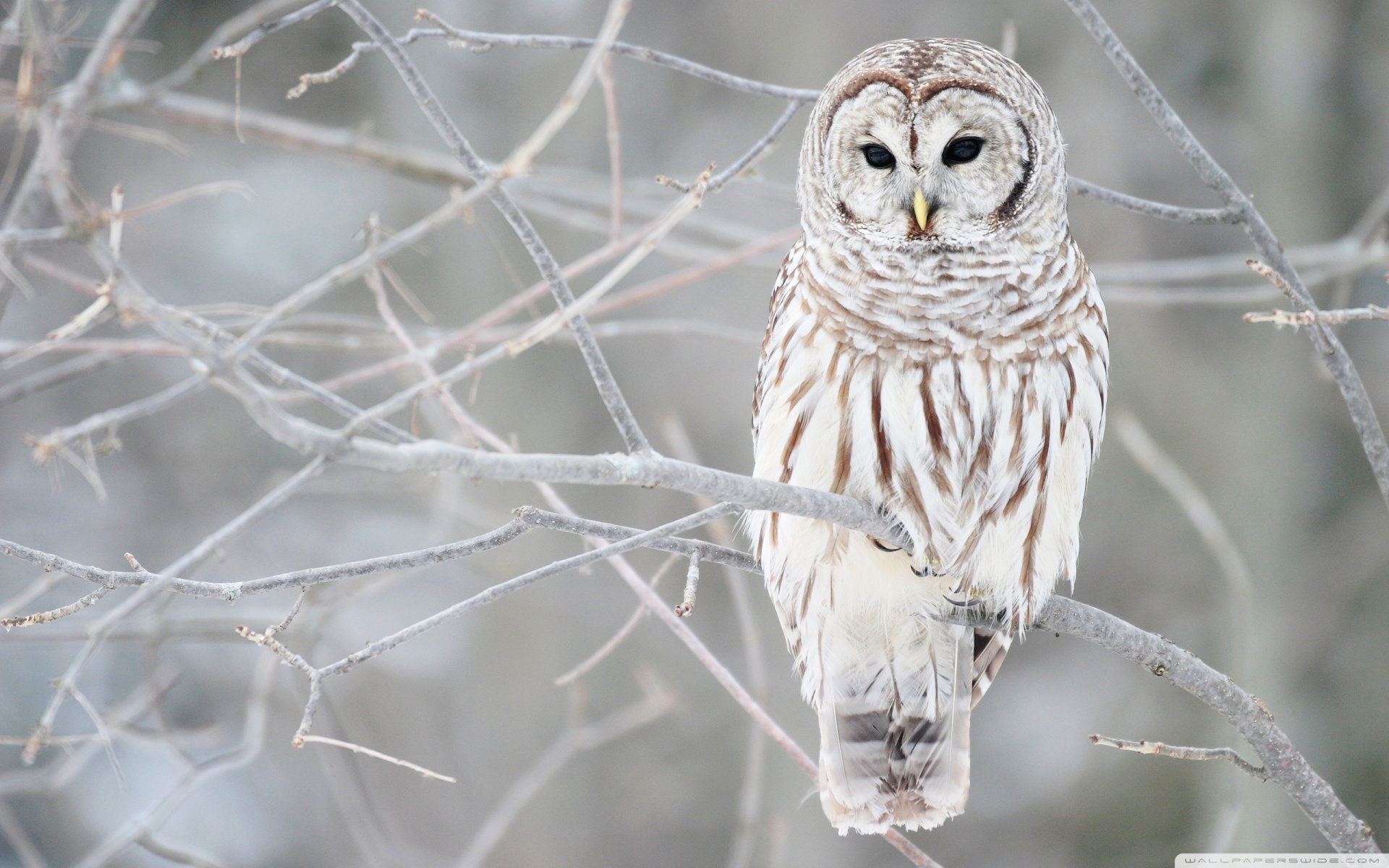 White Owl HD