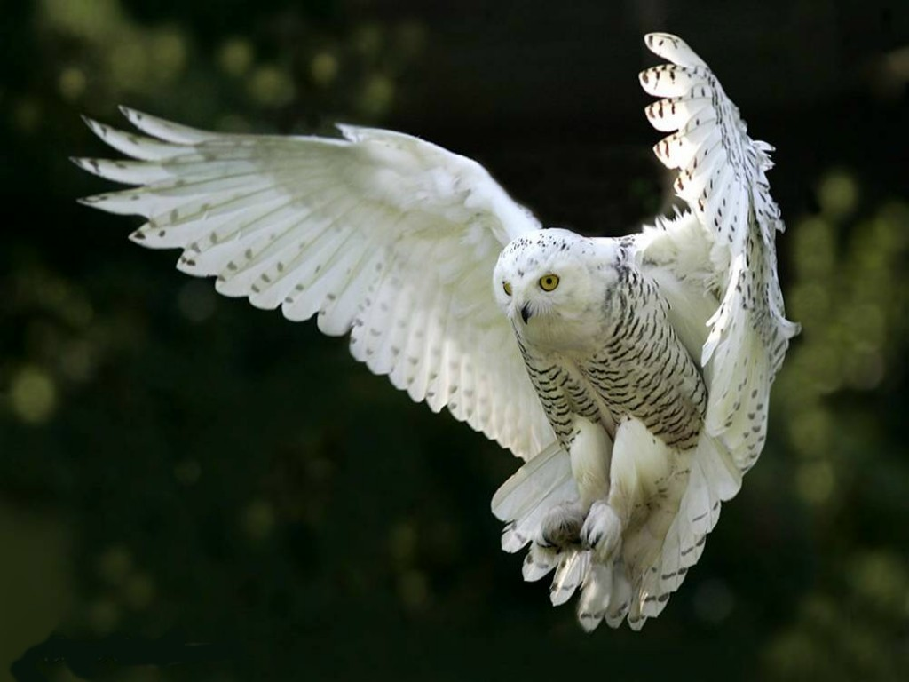 White Owl Widescreen Wallpaper
