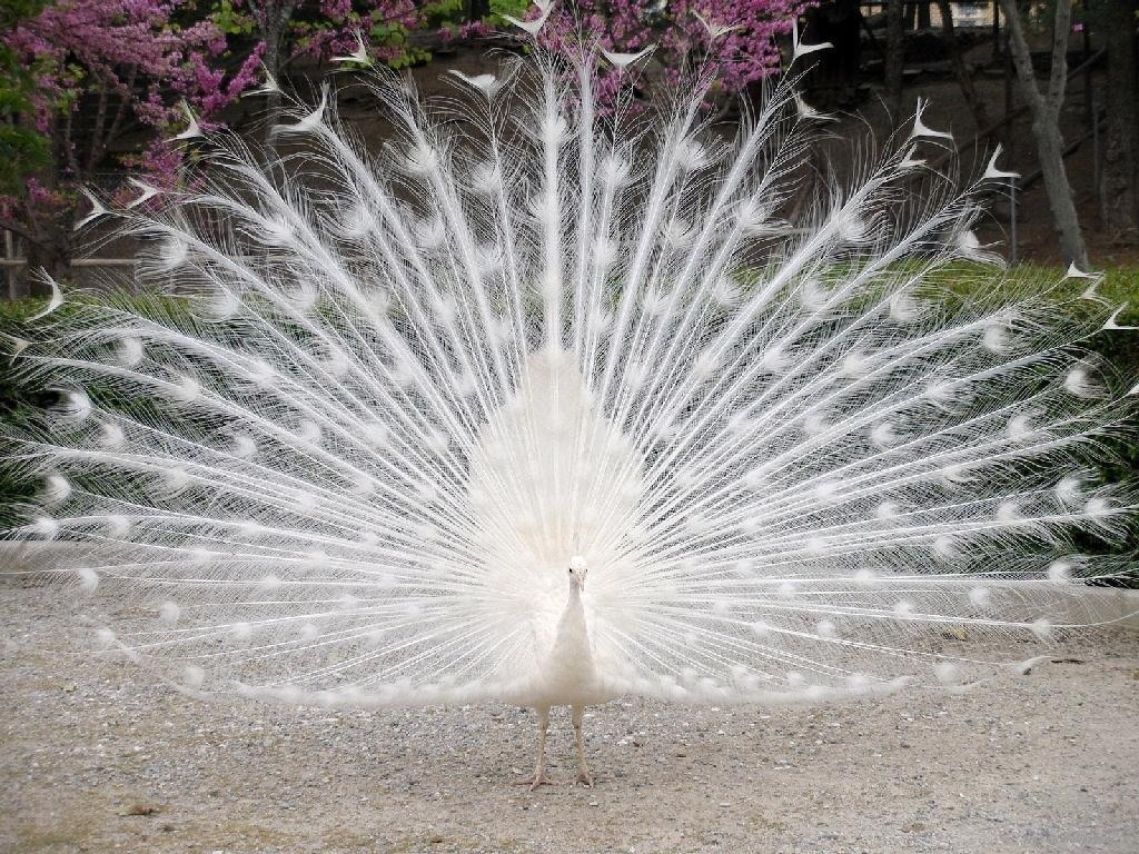 Wild Animals White Peacock