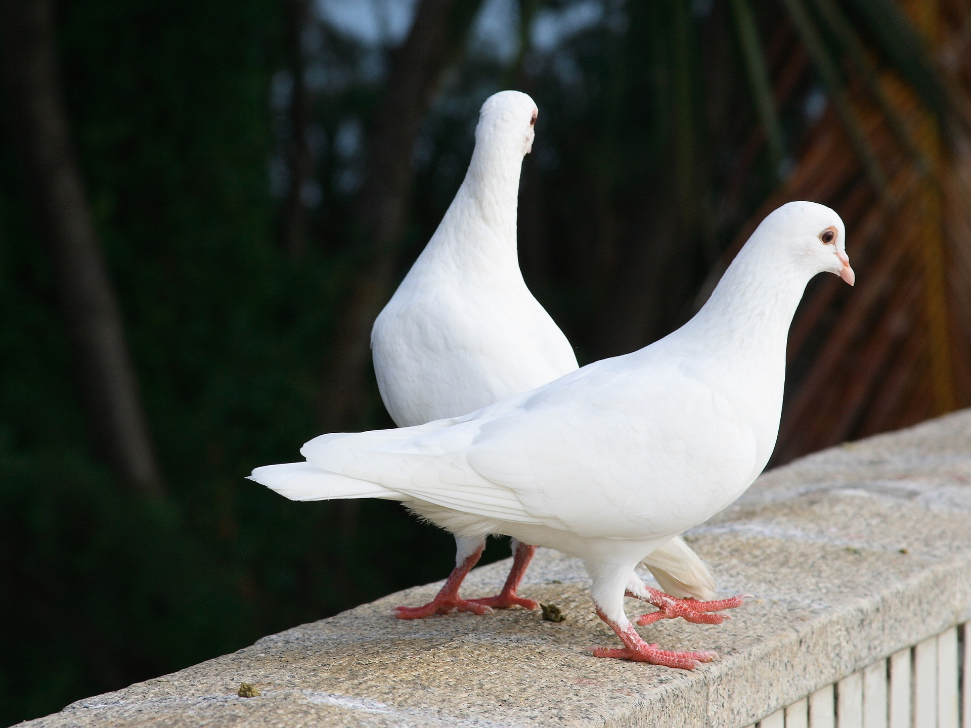 White pigeon doves