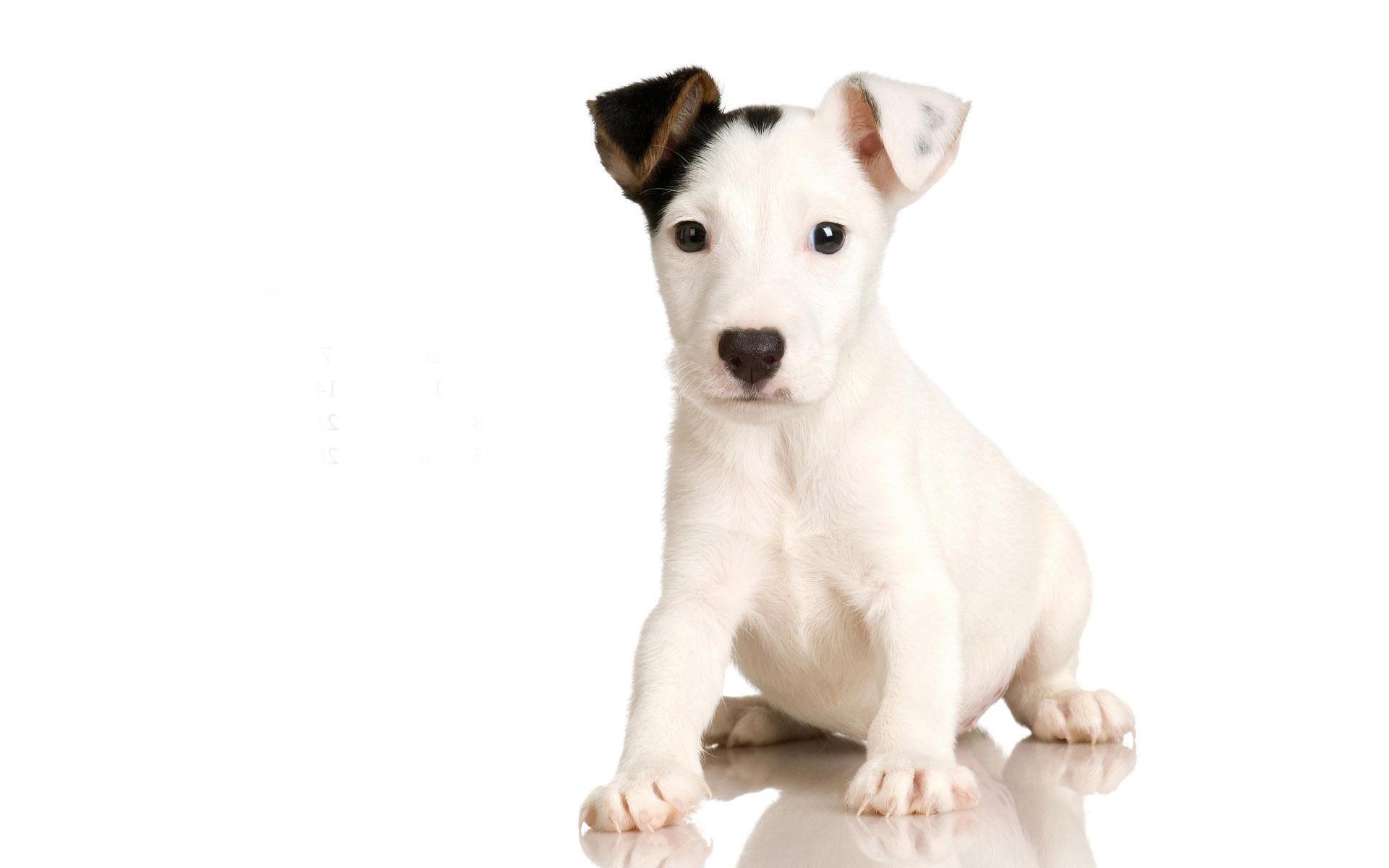 Black White Puppy