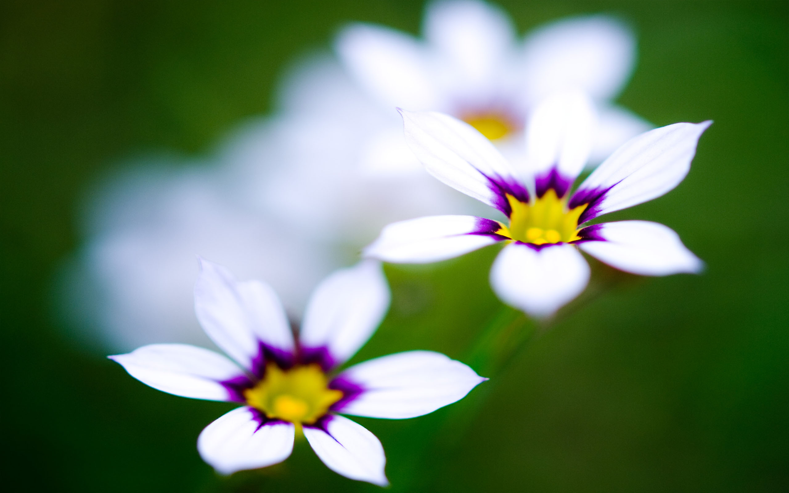 White Purple Flowers