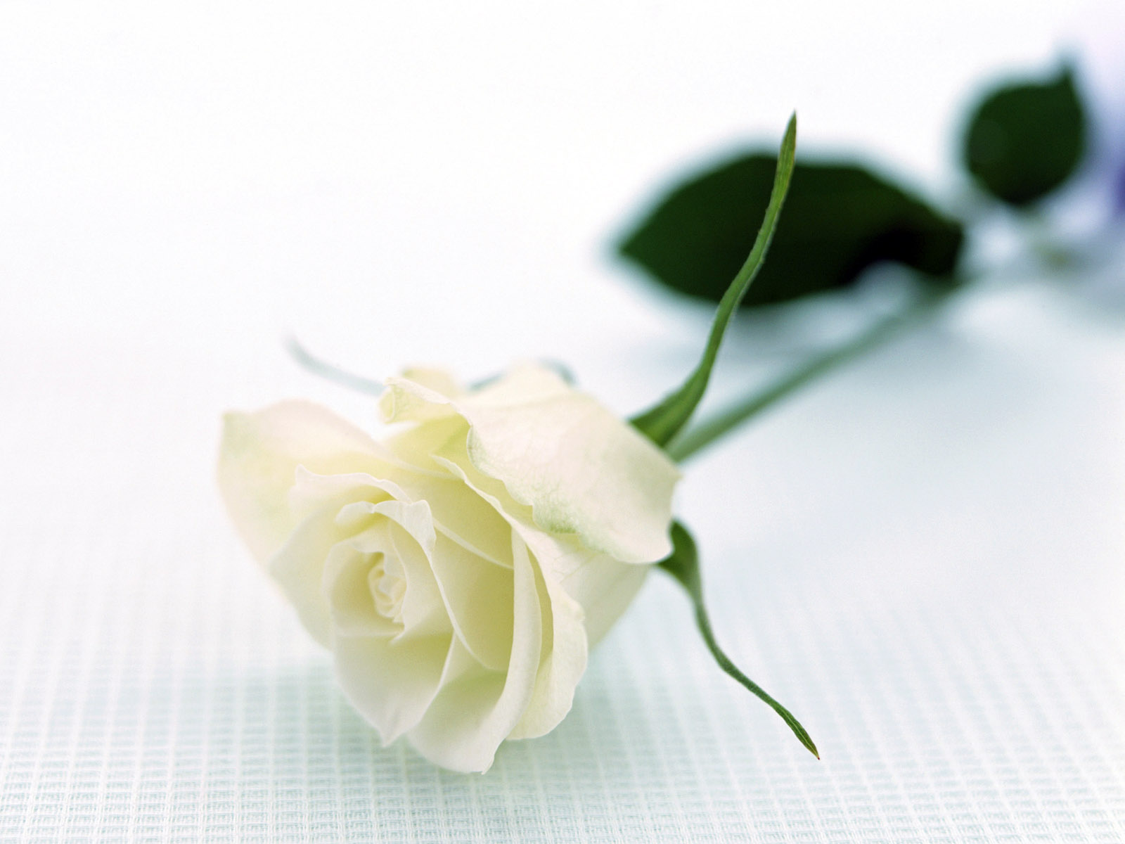 Large White Rose HD Wallpapers ...