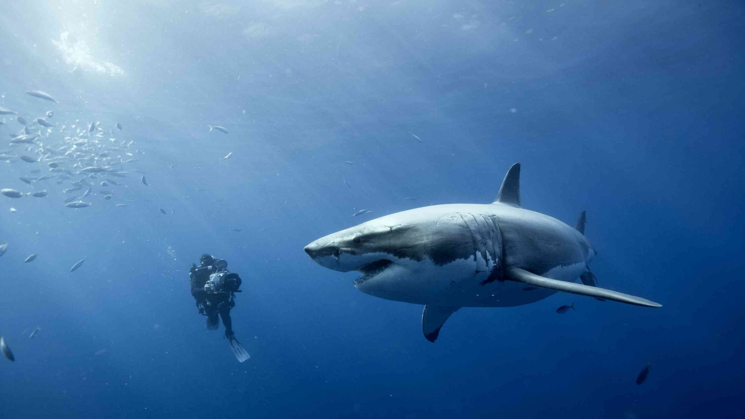 white-shark - Photo #05
