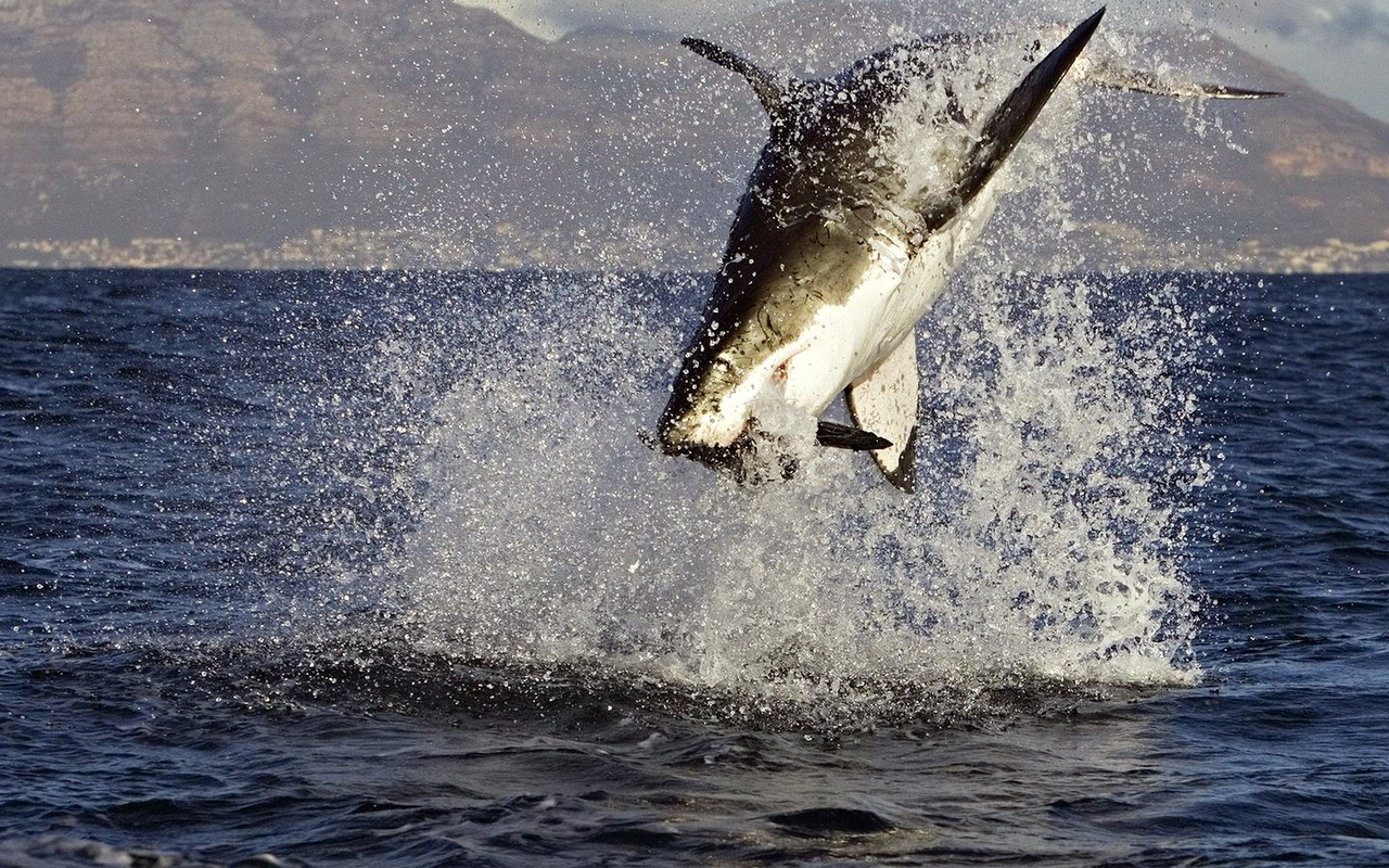 Download Great White Shark Attacks Wallpapers absolutely free for your desktop pc, laptop desktops.