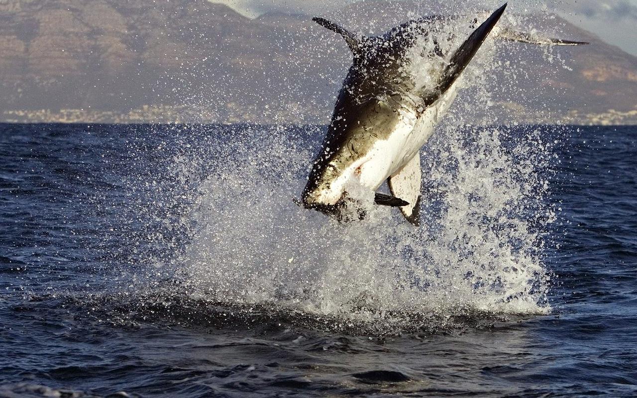 White Shark Attack