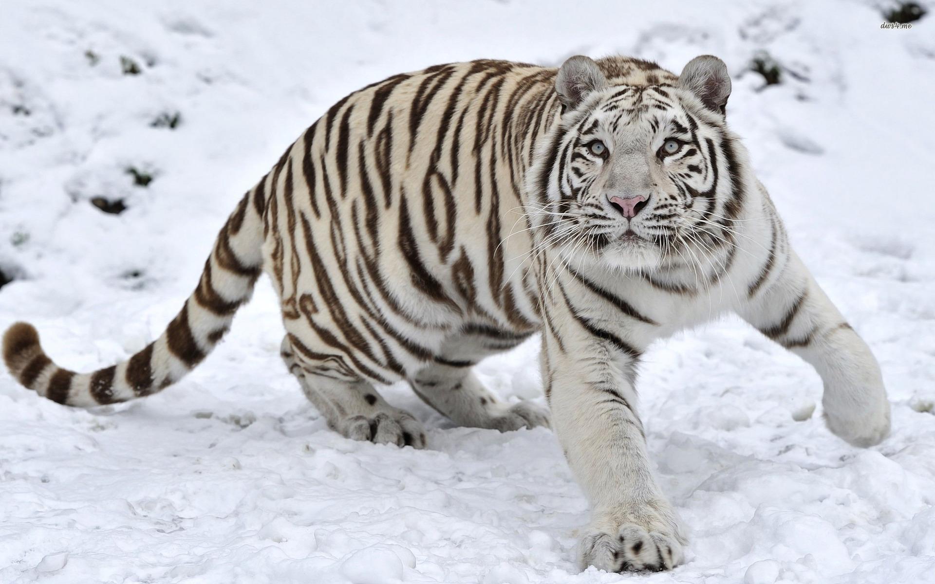 White Tiger HD Wallpaper Free Download