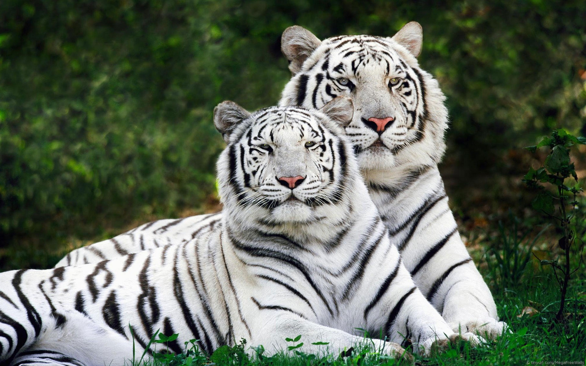White Tiger Wallpaper 01