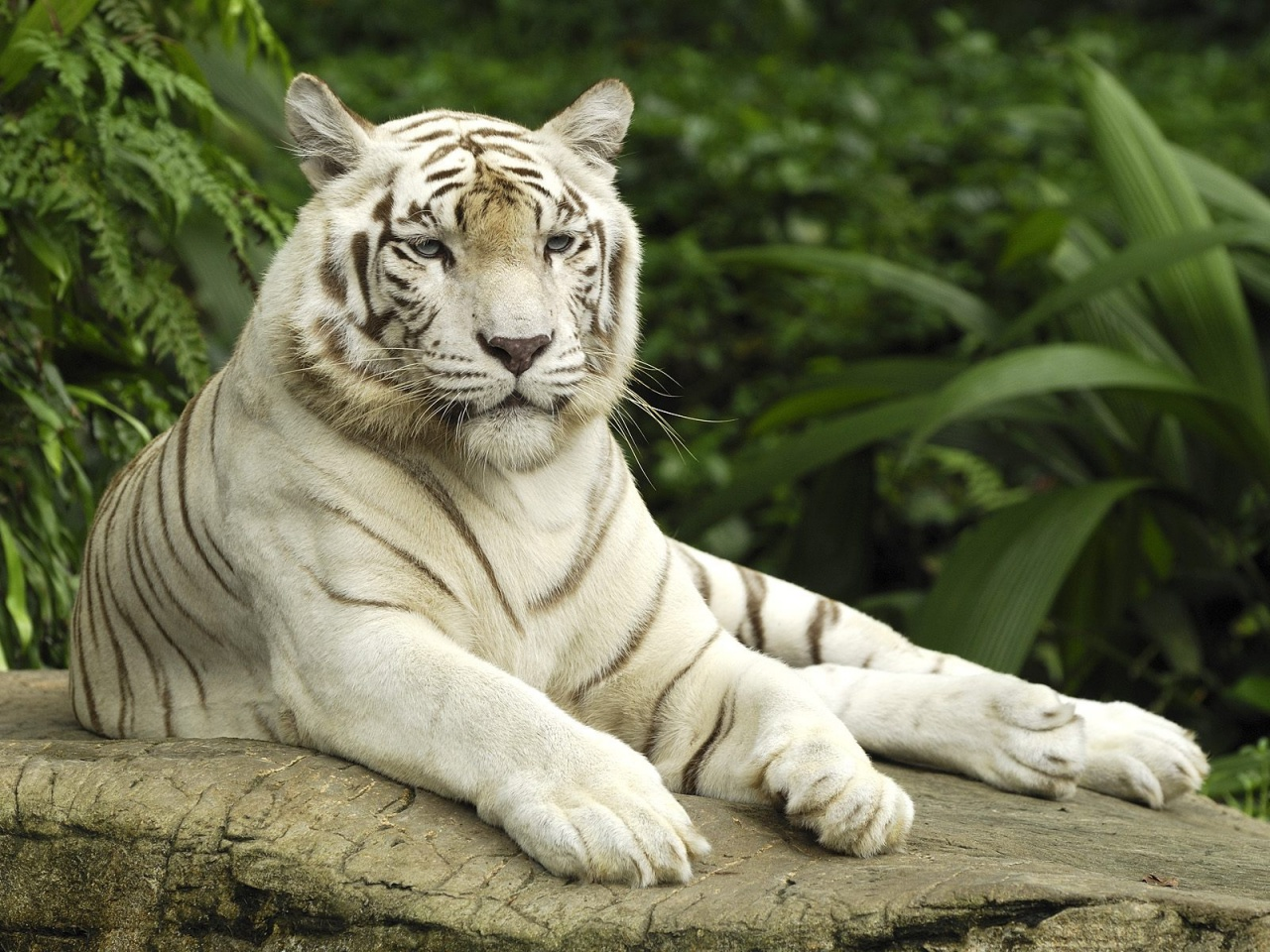 HD Wallpaper | Background ID:474011. 1280x960 Animal White Tiger