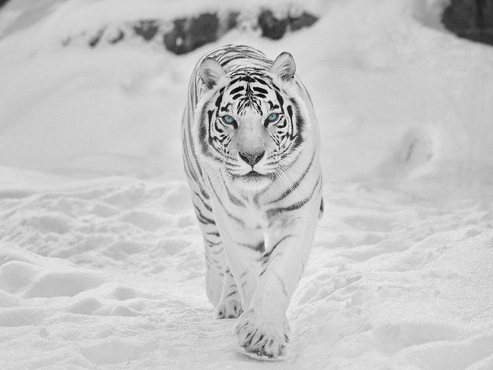essay on white tigers Enjoy proficient essay writing and custom  reviews, theses and more, so our primary mission is the white tiger essay topics help  tigers have the largest.