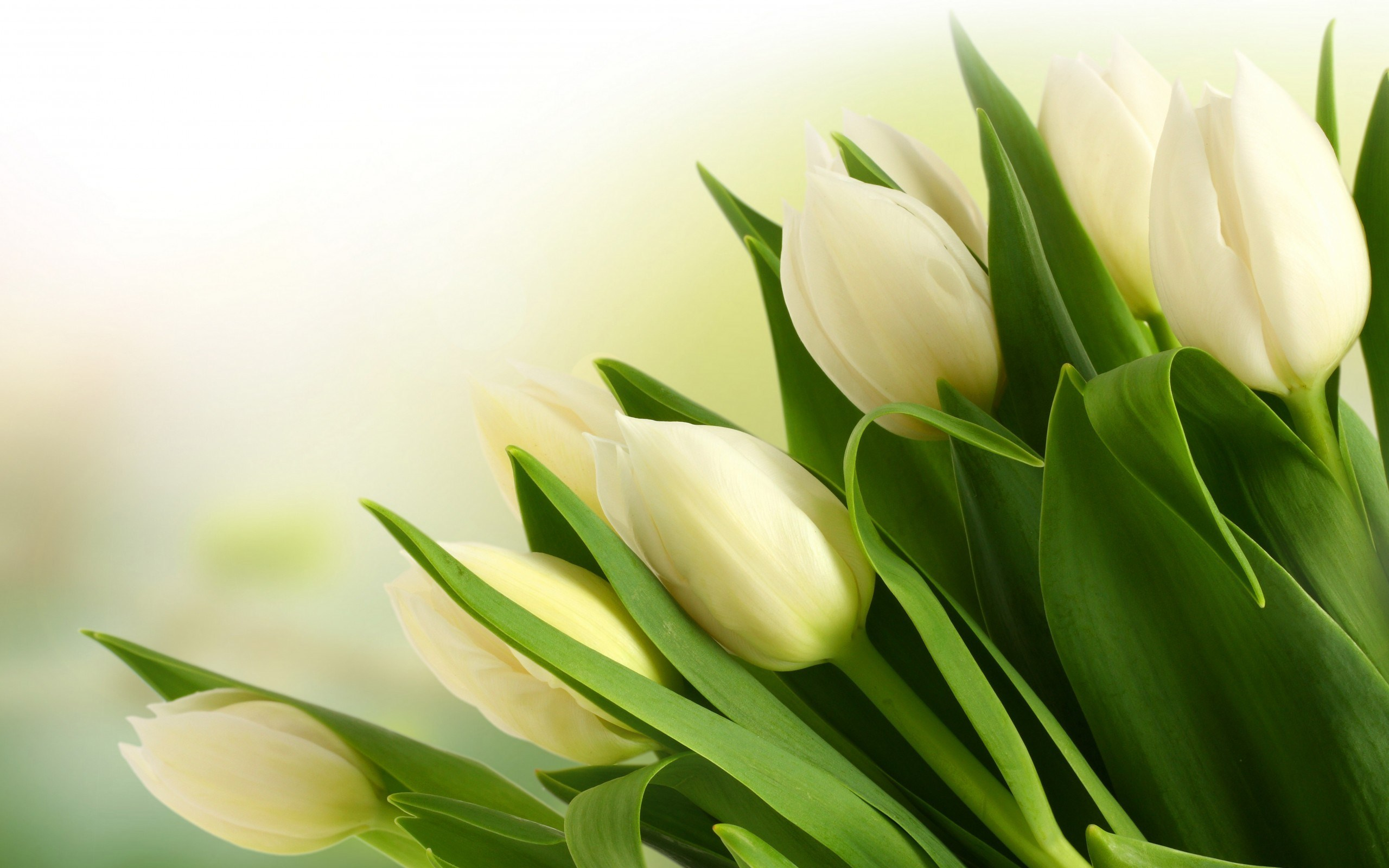 Tulips White Bouquet