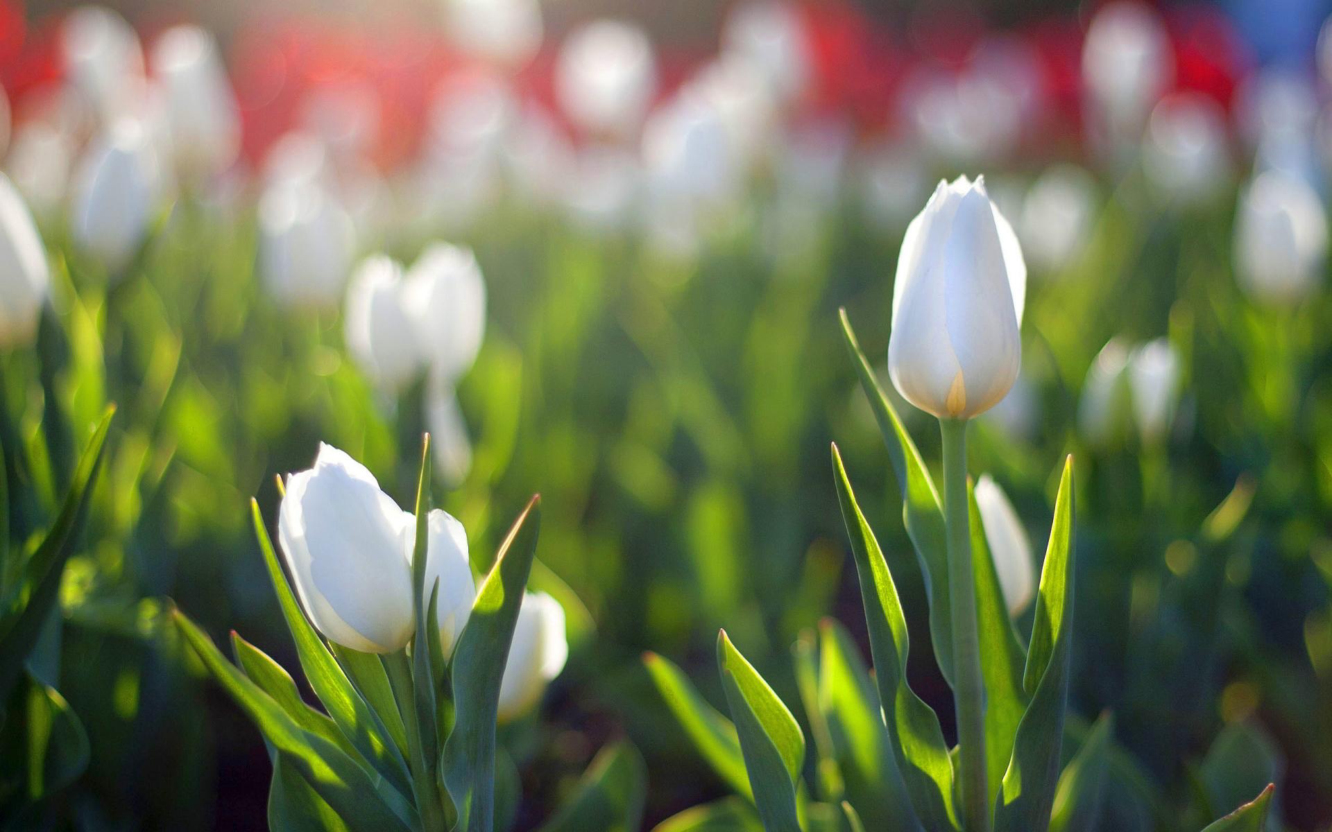 White tulips in morning light