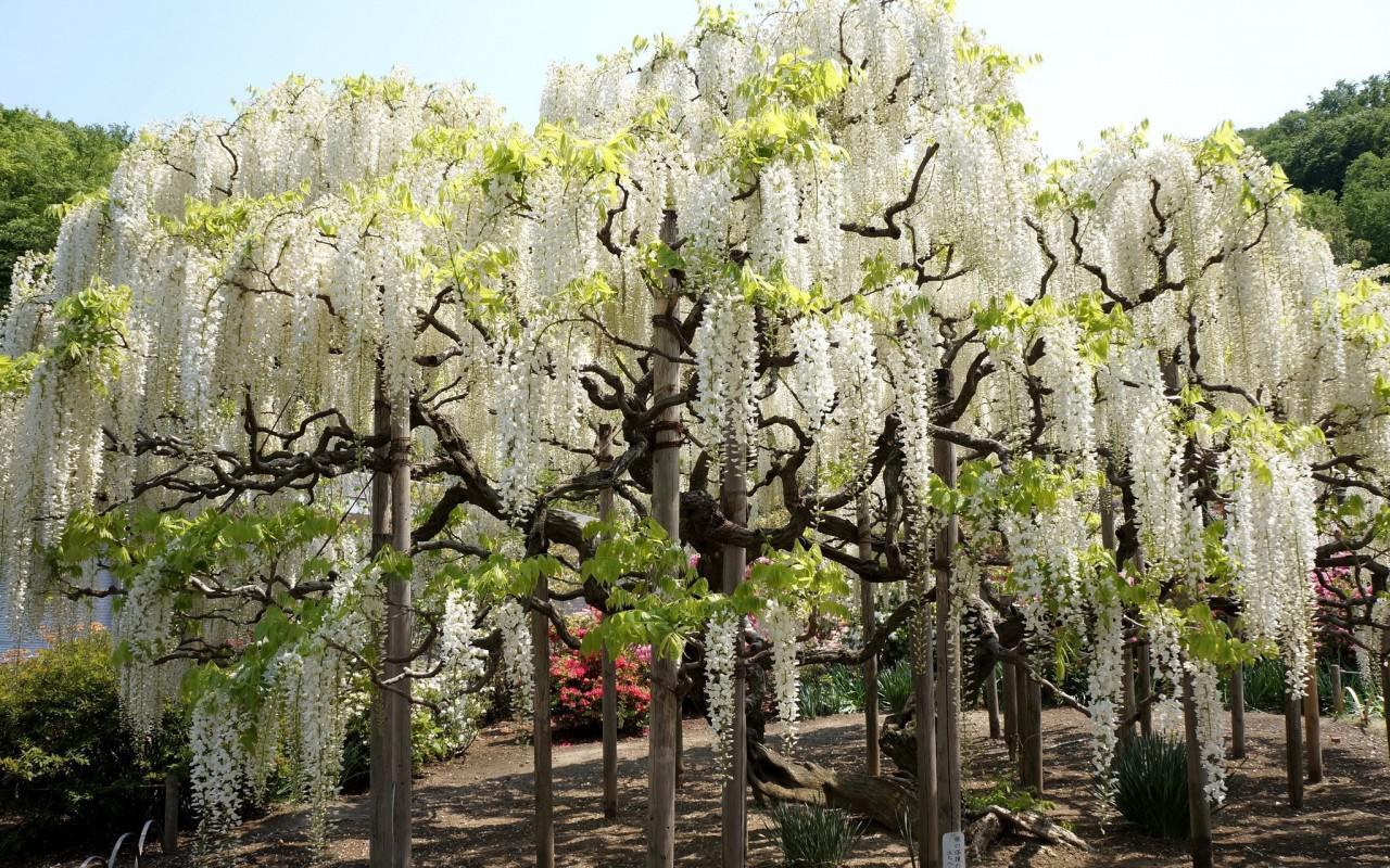 White wisteria HQ WALLPAPER - (#88683)