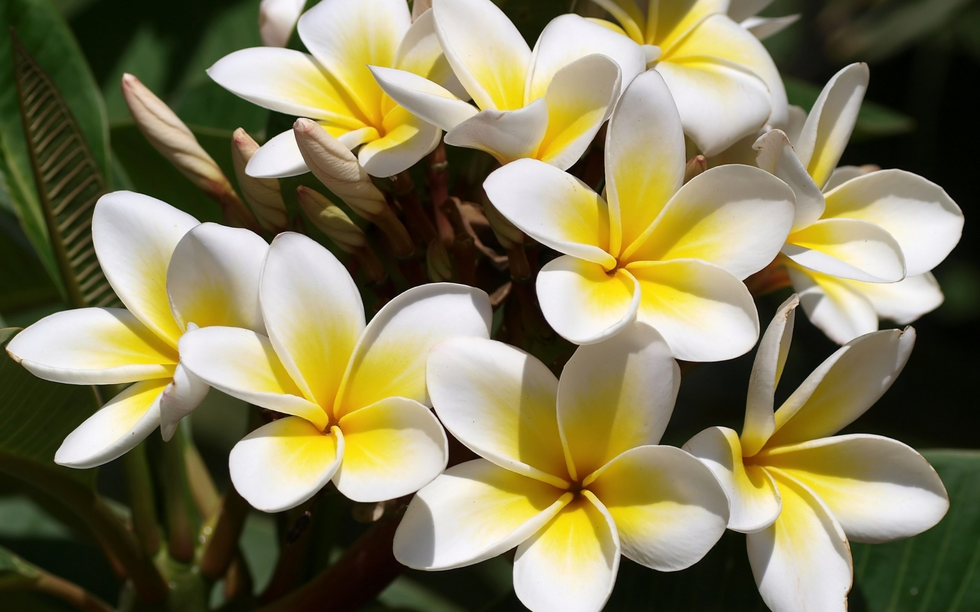 flowers Plumeria frangipani white yellow wallpaper background