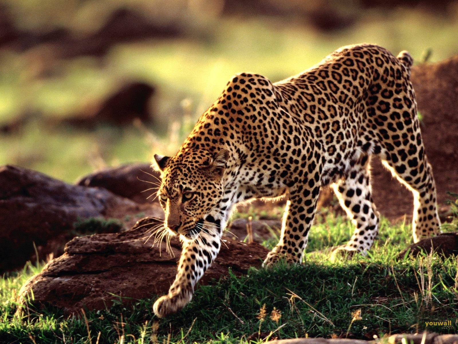 Desktop free pictures of wild animals wallpaper