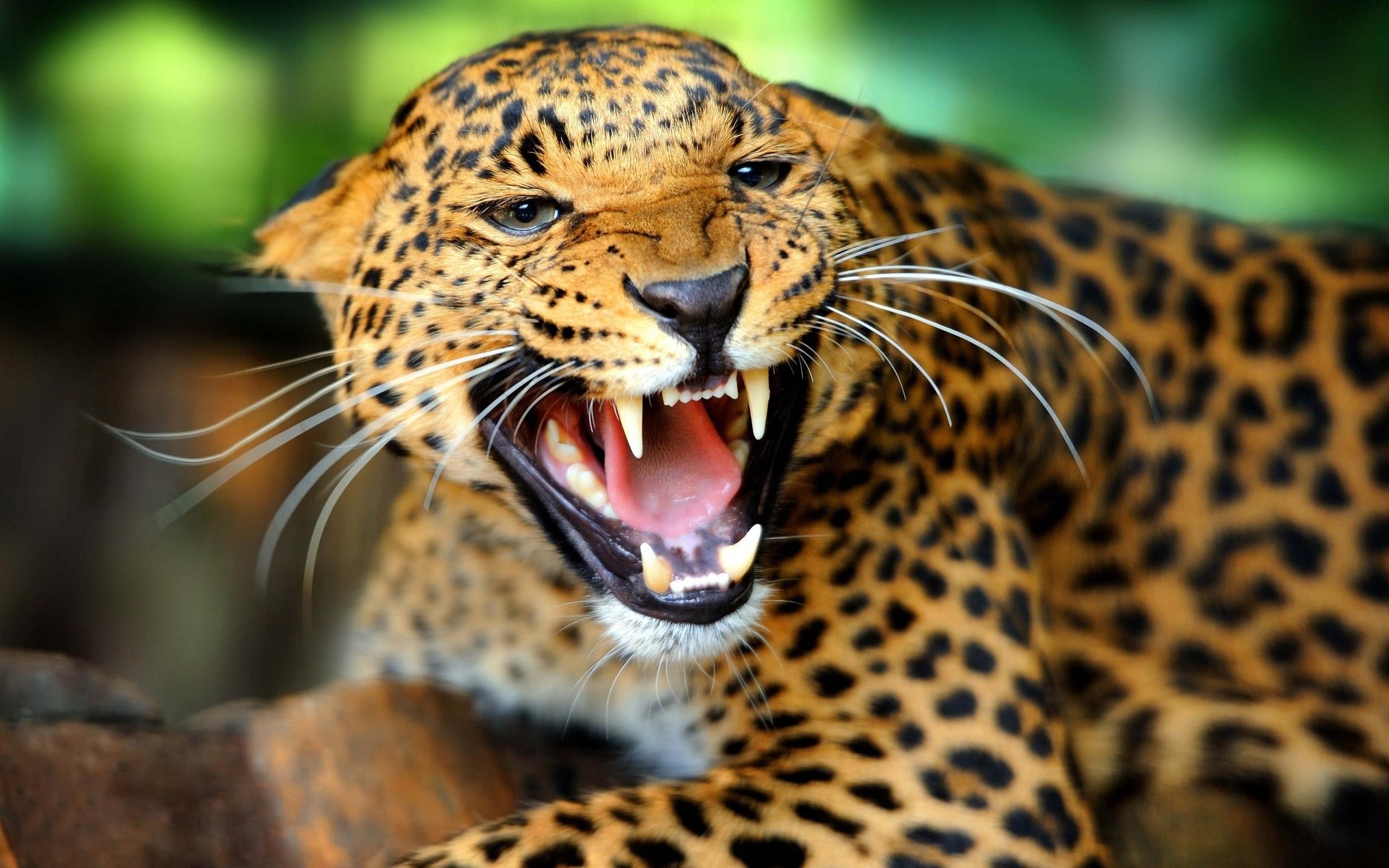 Wild Animal Wallpaper